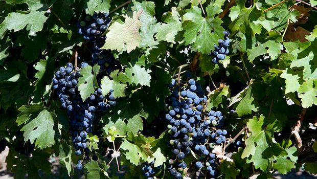 uvas argentina