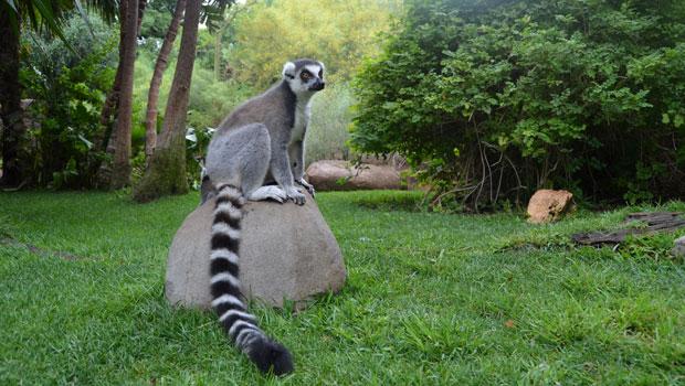 bioparc lemur