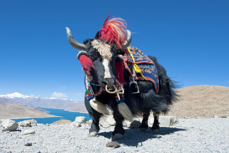Un yak del Himalaya.
