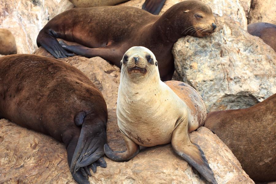 Leones marinos en la bahía de Monterey. Foto: Rolf_52 /Shutterstock.com
