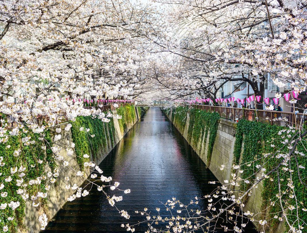 Cerezos Japon