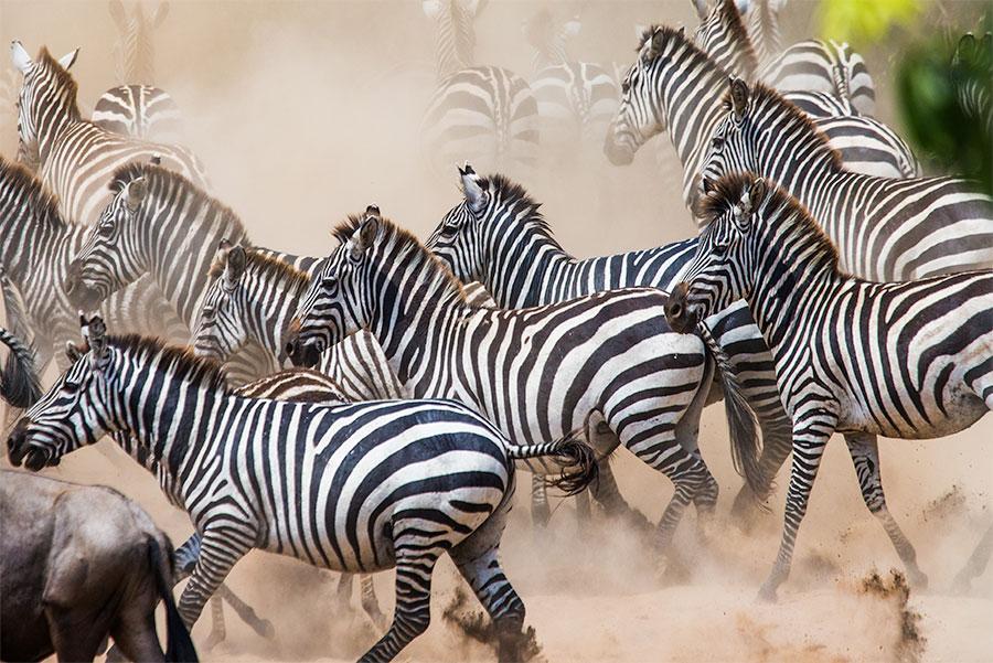 Grupo de cebras en el Serengeti
