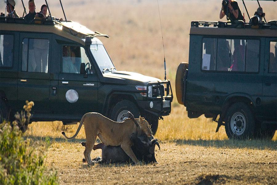 Turistas observando el ataque de una leona a un ñu, Tanzania