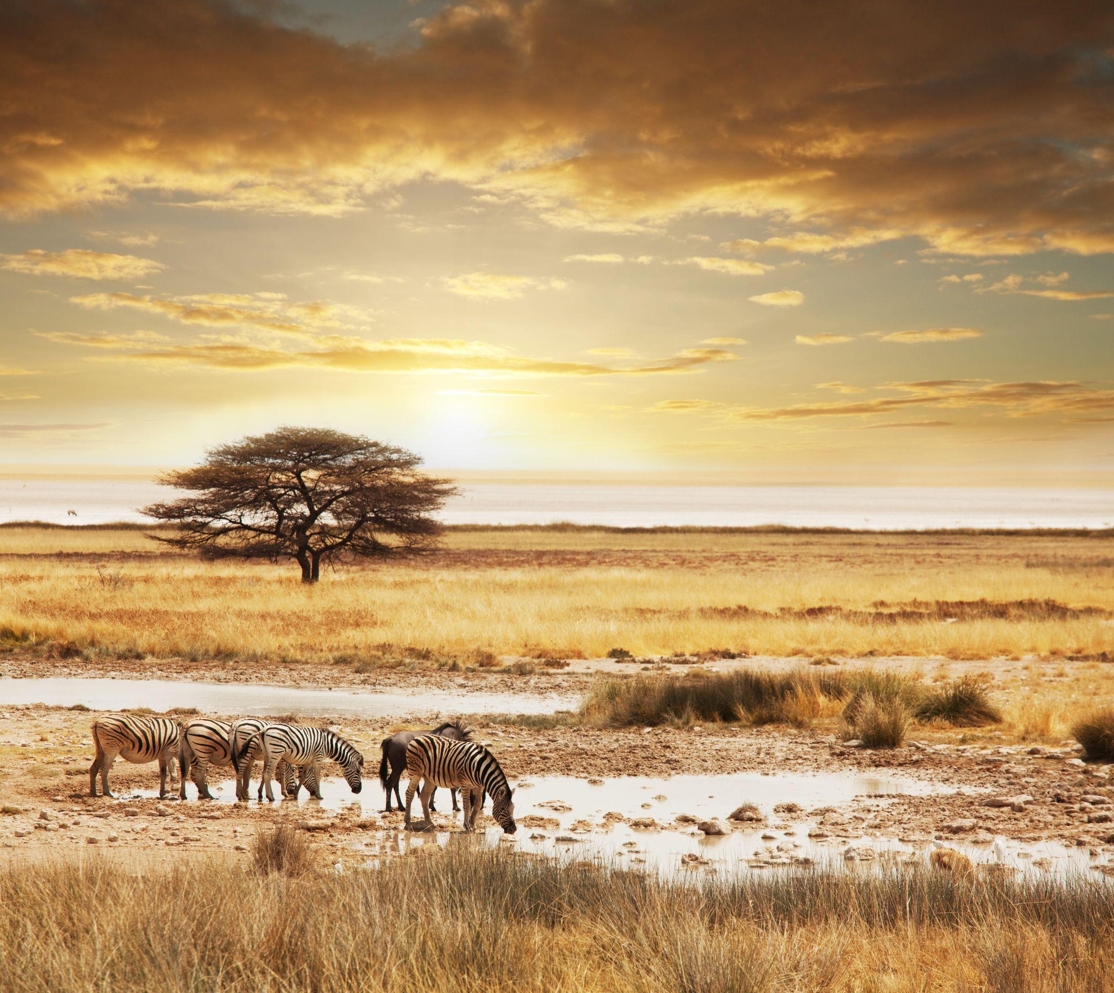 Cebras sabana africana