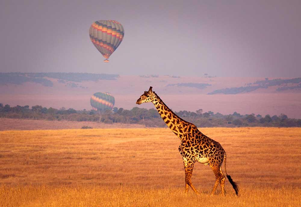 Viaje en Globo por Tanzania, Jirafa