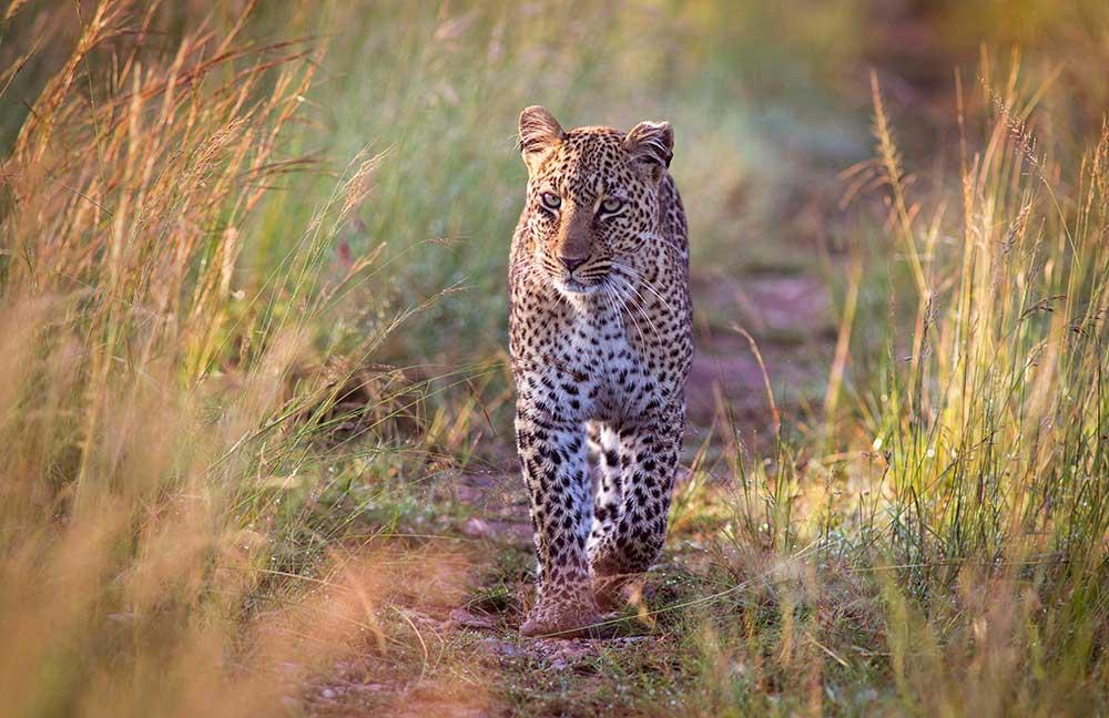 Leopardo, Tanzania