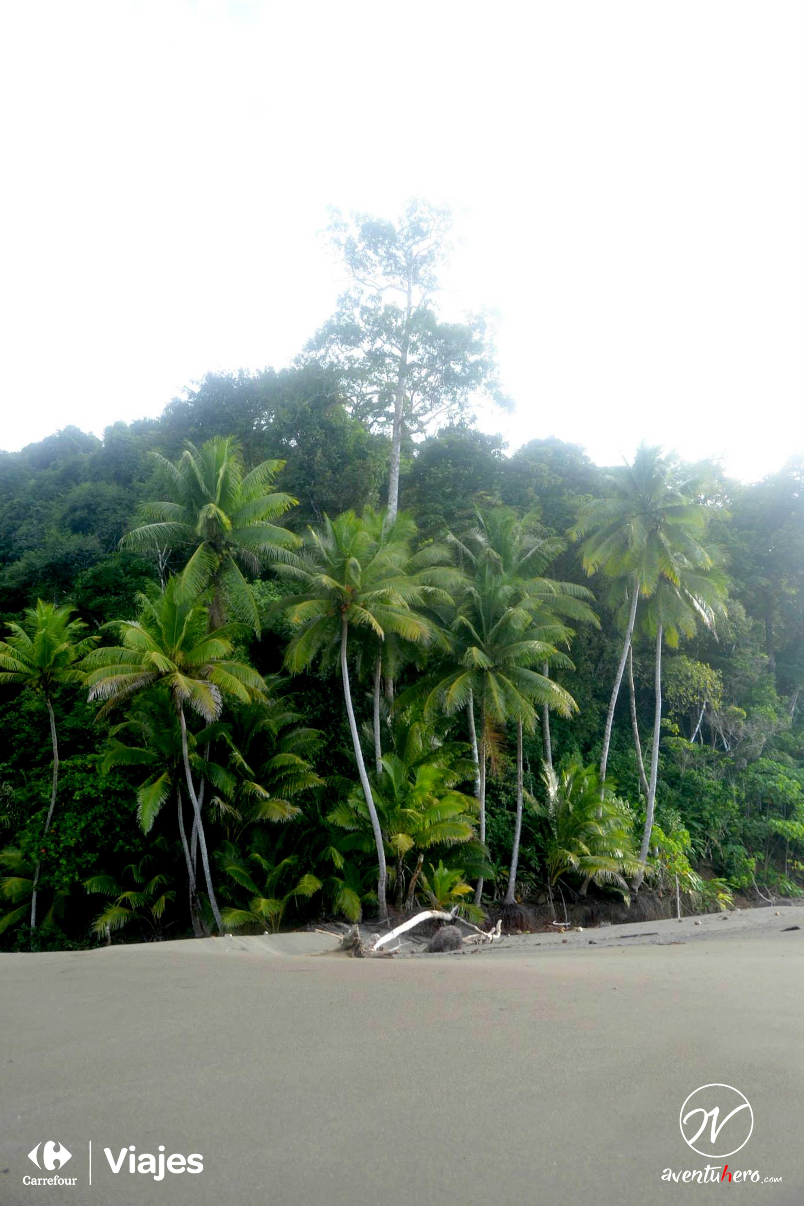 Las palmeras vigilan en Corcovado