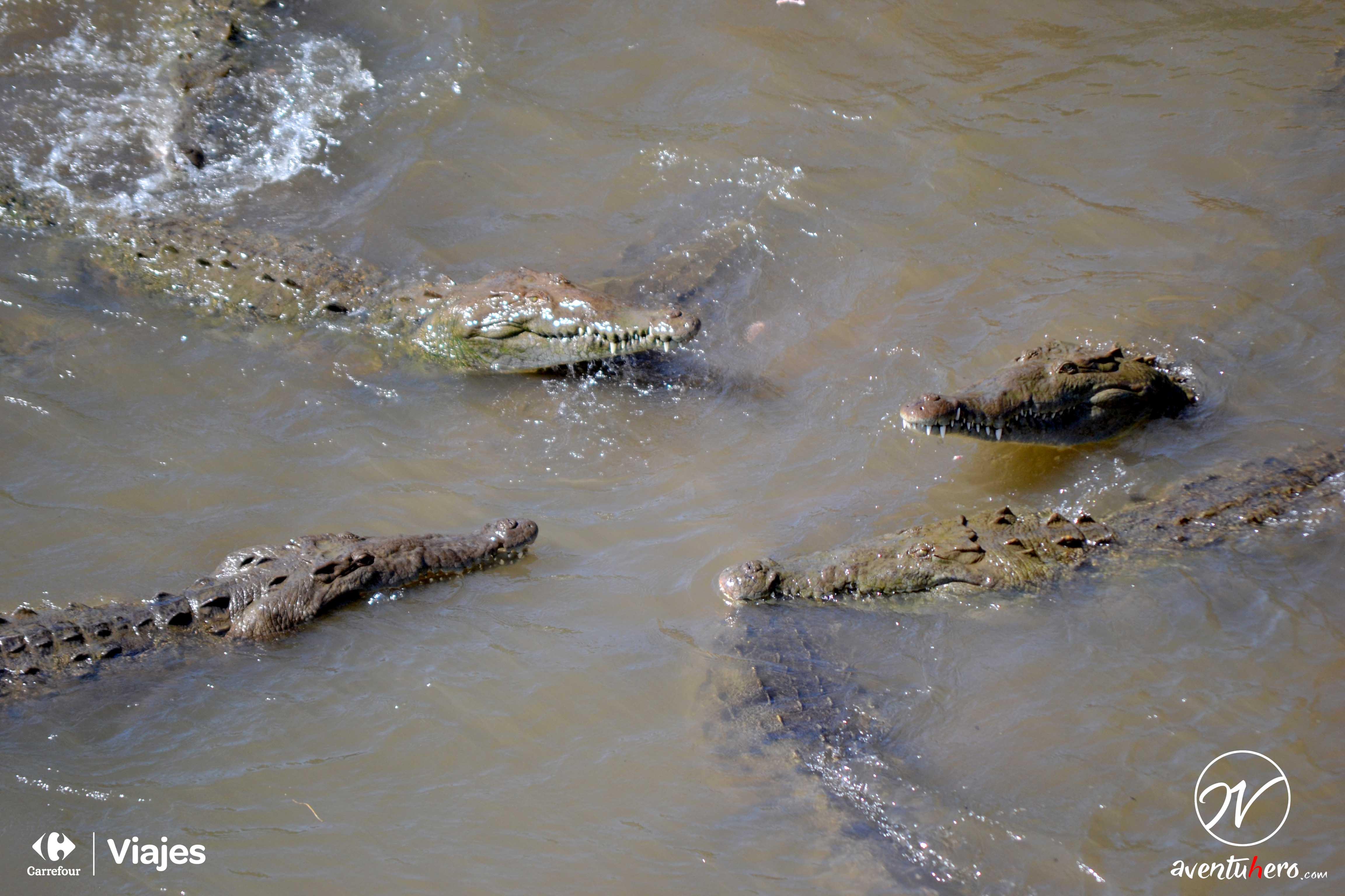 Mandíbulas en el río Tárcoles