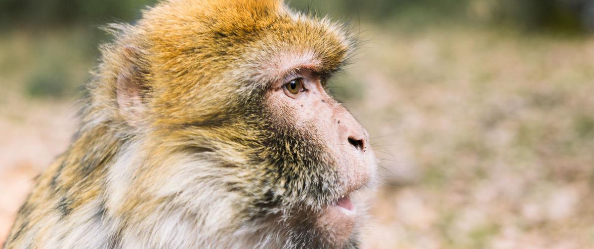 Visitar las cascadas de Ouzoud, Macaco