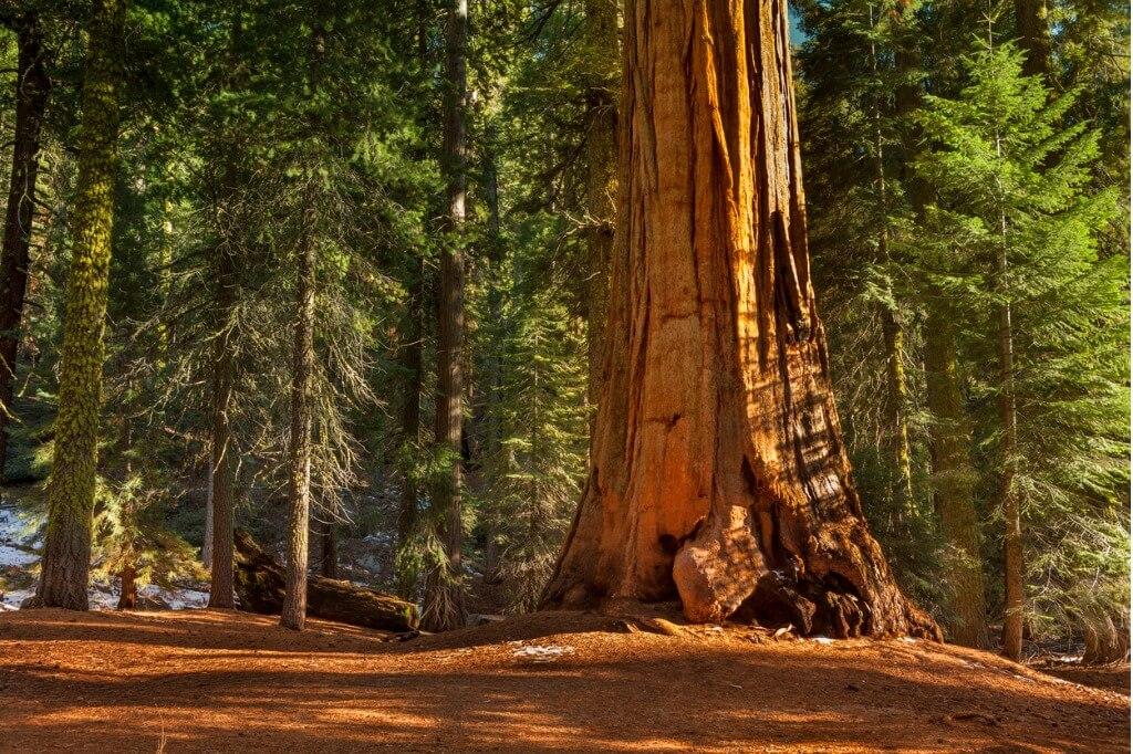 vuelos a EE UU, Mariposa Grove en California (Yosemite)