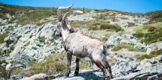 Rutas por la Sierra de Gredos, Cabra montesa