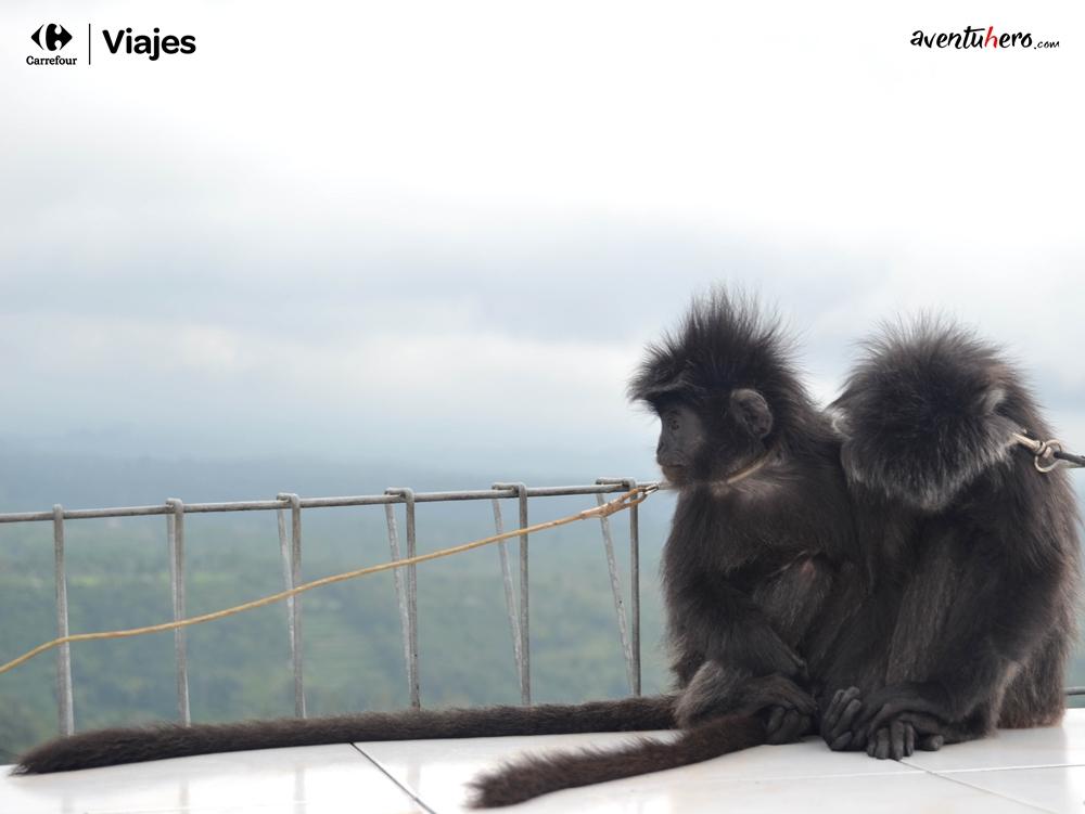 Monos atados
