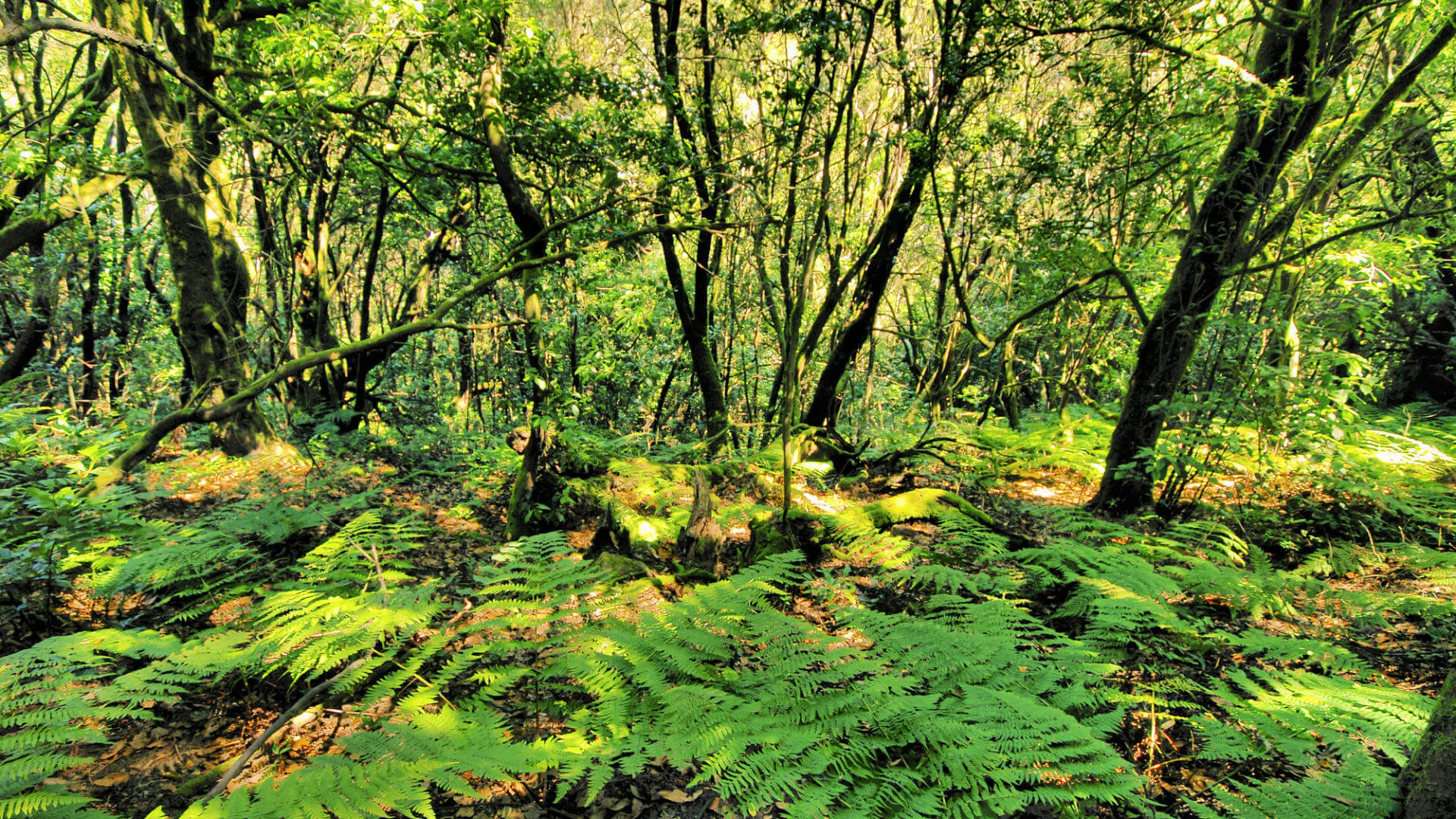 El Cedro, Parque Nacional Garajonay