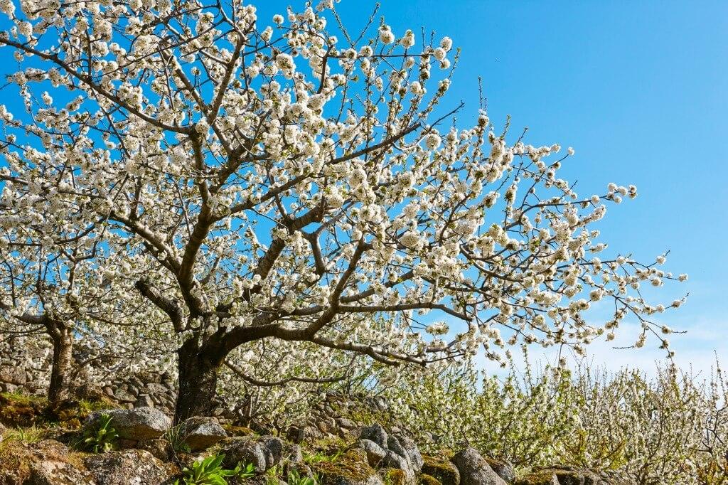 Flor de cerezo, Valle del Jerte