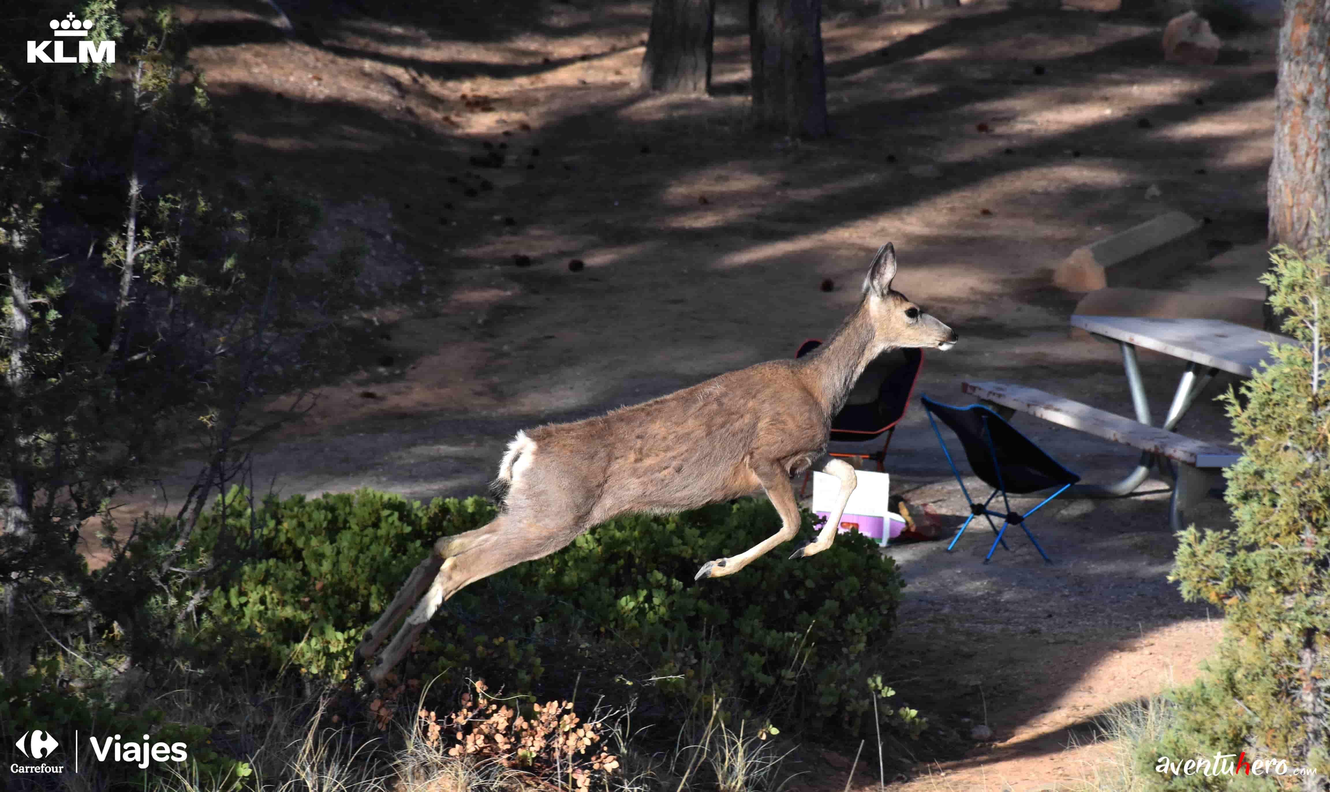 ciervo saltando en bryce