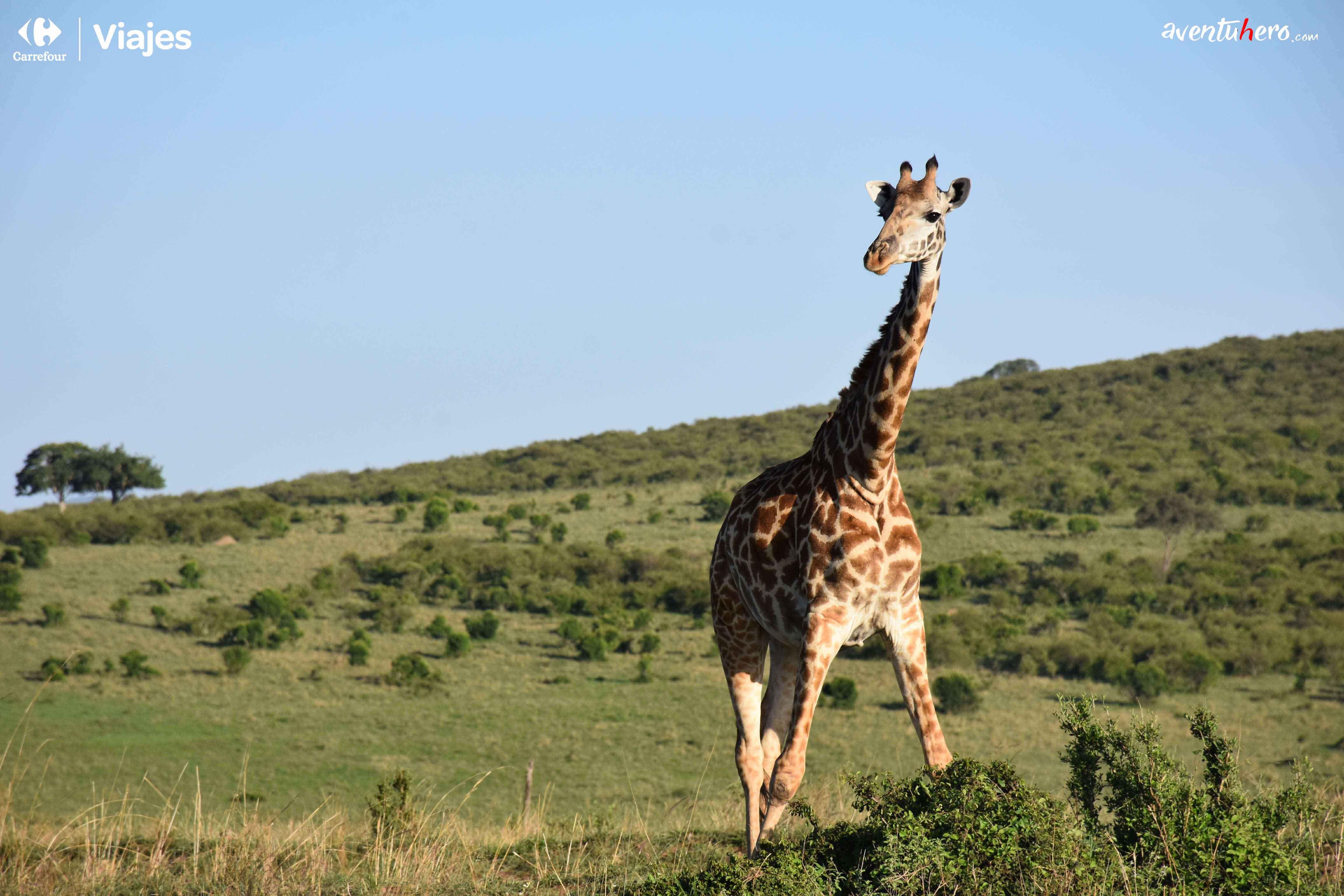 5 Jirafa Masai