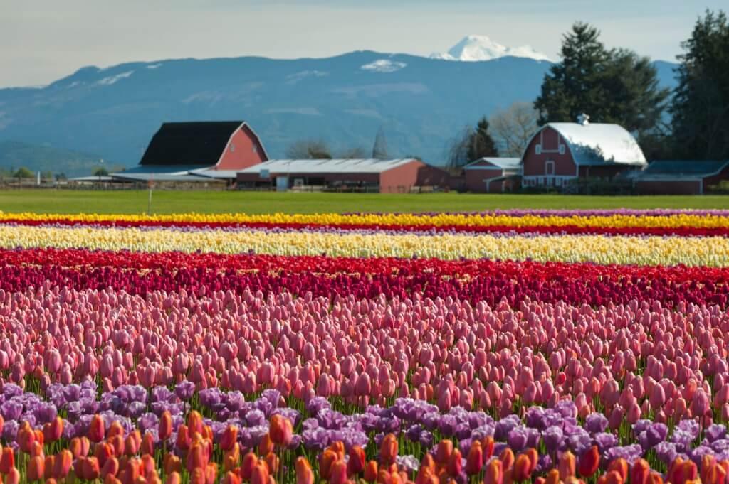 Campo de tulipanes, Skagit