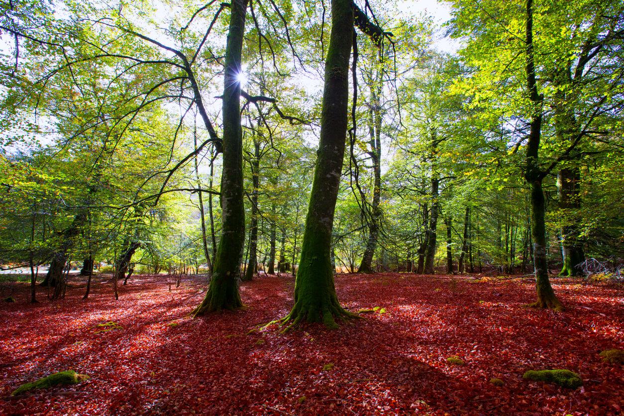 Otoño Selva de Irati beech jungle de Navarra Pirineos España