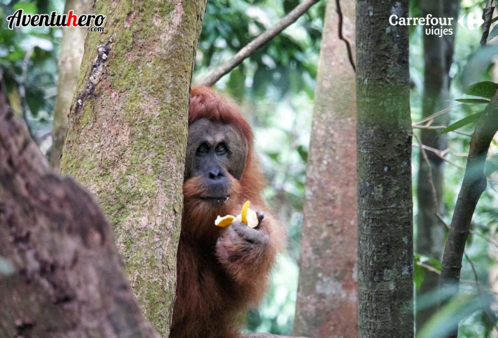 orangutan en sumatra