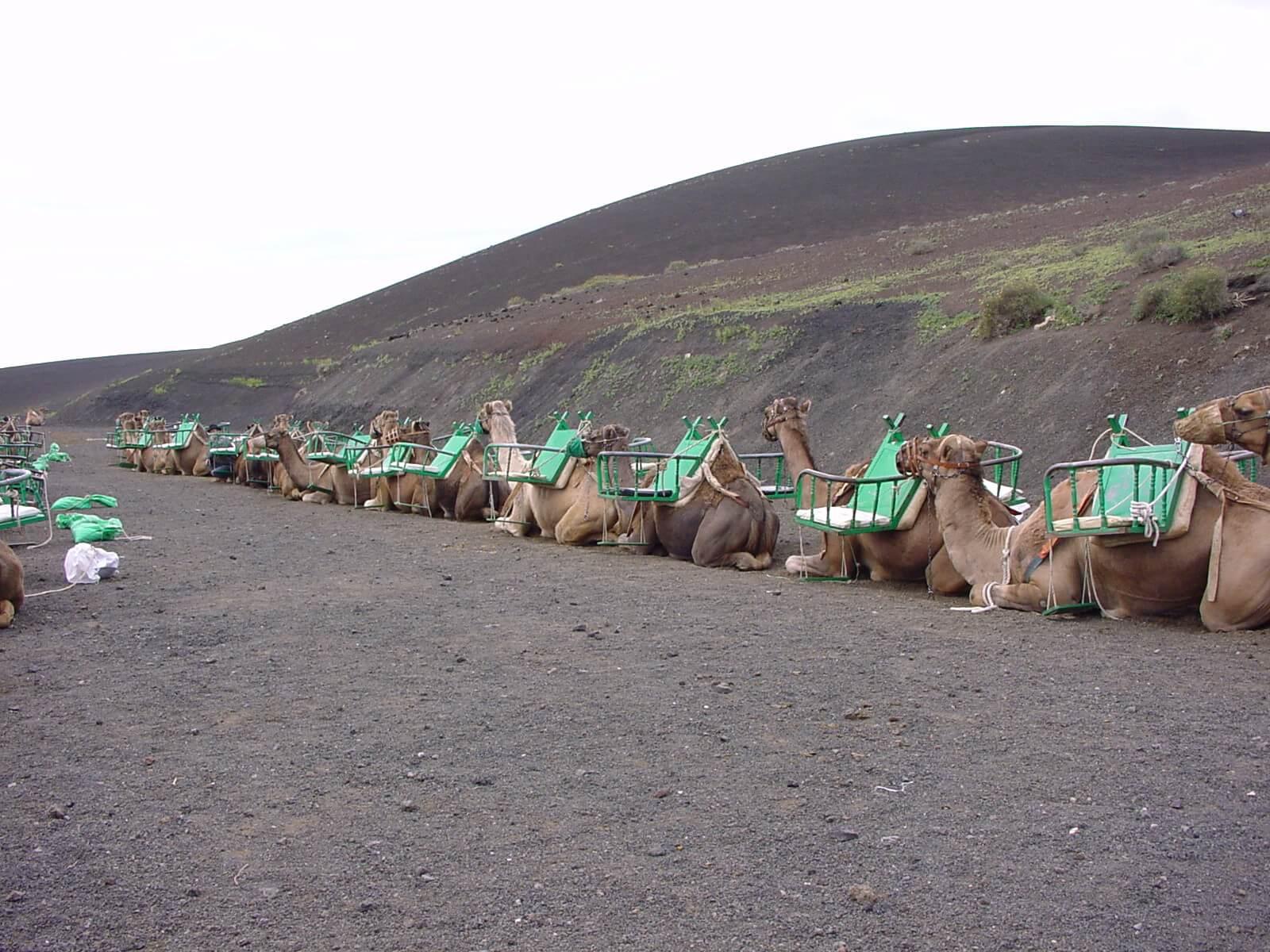 Pasear en camello en Tenerife