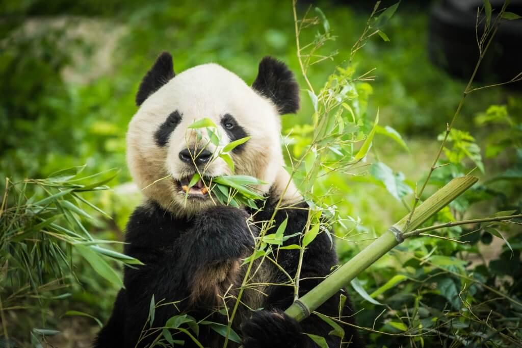 Panda comiendo bambú