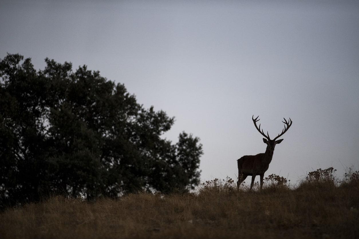 ciervo en Sierra de Andújar, Jaén